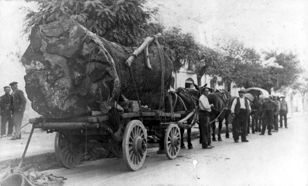 Trasllat de la soca de l'alzina del Pont Xuclador. 1932. Fons de l'Arxiu Històric Municipal de Mollet del Vallès